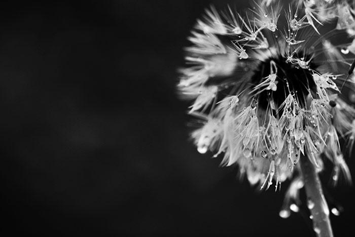 Pusteblumen Bilder Verbluhter Lowenzahn Naturfotografien
