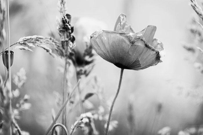 Schwarzweisse Blumenbilder Kostenlose Und Lizenzfreie Fotos