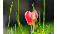 rote Tulpe in Wiese