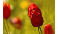 rote Tulpen in Wiese