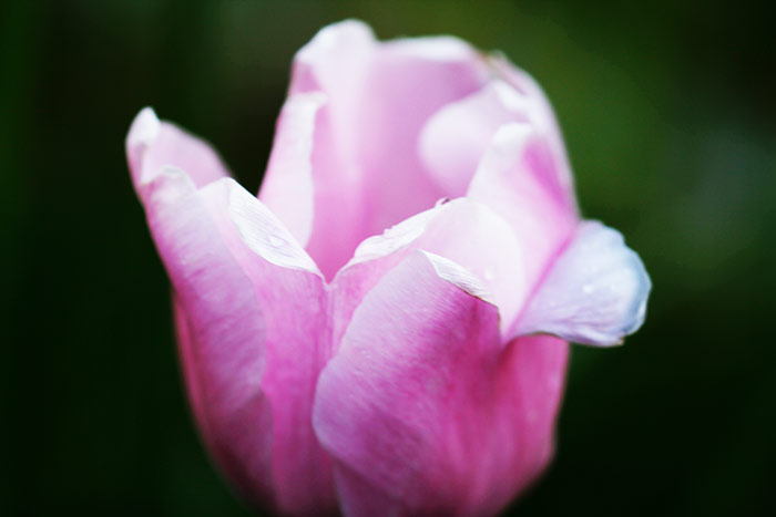 Tulpe rose-pink-weiss
